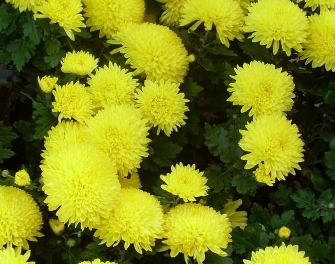 爆菊花是什么意思_菊花代表什么意思?